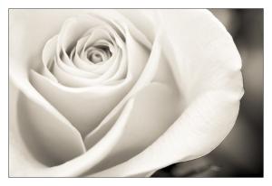 single_white_rose_by_raven8472